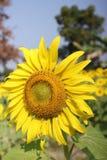 Fält av blommande solrosor arkivfoton