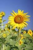Fält av blommande solrosor fotografering för bildbyråer