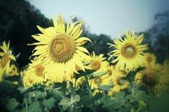 Fält av blommande solrosor arkivbilder