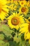 Fält av blommande solrosor royaltyfria bilder