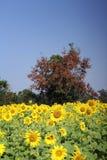 Fält av blommande solrosor royaltyfria foton