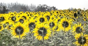 Fält av blommande solrosor arkivfoto