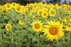 Fält av blommande solrosor royaltyfri bild