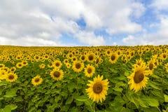 Fält av blommande solrosor i solig dag för sommar Arkivfoton