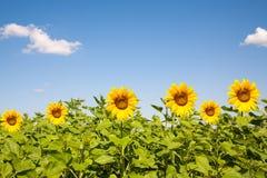 Fält av blommande solrosor på en bakgrund Royaltyfria Bilder