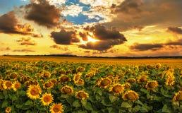 Fält av blommande solrosor på en bakgrundssolnedgång Arkivfoton