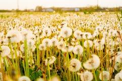 Fält av blommande vita maskrosor på solnedgången med varmt ljus i sommar Royaltyfria Bilder