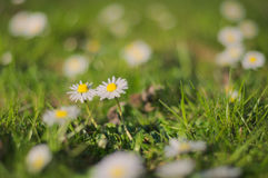 Fält av blommor royaltyfria foton
