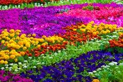 Fält av blommor av olika färger Arkivbilder