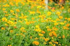 Fält av blommor, blommabakgrund Royaltyfri Foto