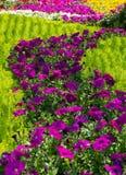 Fält av blommor för morgonhärlighet royaltyfria bilder