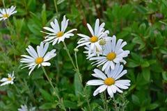 Fält av blommor för vit tusensköna Royaltyfria Foton