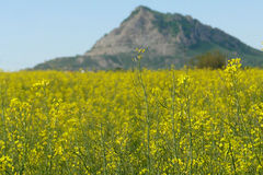 Fält av blommor i bergen Arkivfoto