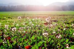 Fält av blommor i Provence, Frankrike Arkivbilder