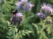 Fält av blommor med ett bi som samlar pollen royaltyfria foton
