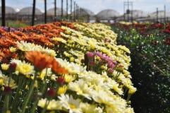 fält av blommor med färgrika krysantemum i Holambra i Brasilien Royaltyfria Foton