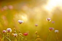 Fält av blommor under solnedgång Arkivbilder