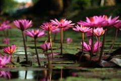 Fält av blomningrosa färger Lotus Flower Arkivbilder