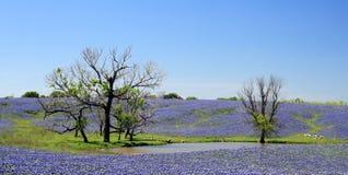 Fält av Bluebonnets Fotografering för Bildbyråer