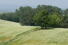 Fält av bockvete Arkivbild
