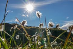 Fält av bomullsgräs i Island arkivbild