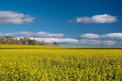 Fält av bovete Fotografering för Bildbyråer