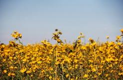 Fält av Bur-ringblommor Royaltyfria Bilder