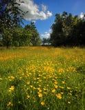 Fält av Buttercups Royaltyfri Fotografi