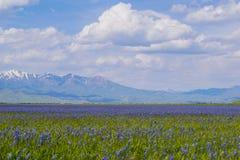 Fält av Camas liljor Royaltyfria Foton