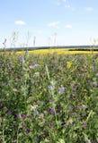 Fält av canola bak alfalfa arkivfoton