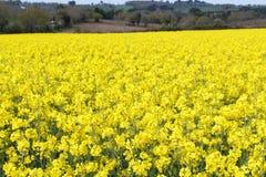Fält av canola i Brittany Royaltyfria Bilder