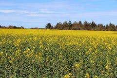 Fält av canola i Brittany Royaltyfri Fotografi