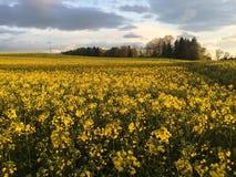 Fält av Canola på solnedgången Royaltyfria Bilder