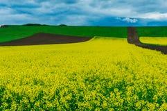 Fält av canolablommor Royaltyfri Bild