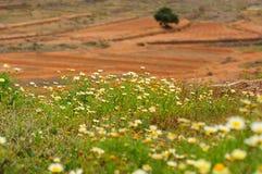 Fält av chamomiles arkivbild