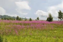 Fält av den blommande mjölkörten SOMMAREN landskap Det östliga Sibirienet Arkivfoto