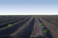 Fält av den gröna sockerbetan för barn Royaltyfri Bild