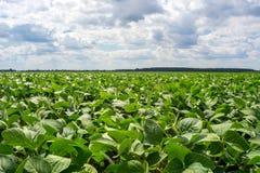Fält av den gröna sojabönan i perioden av blomningen Rengöring från sjukdomar och plågor, sunda växter Punkterat frö arkivfoto