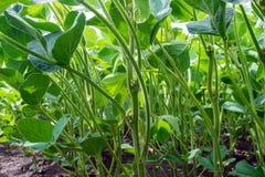 Fält av den gröna sojabönan i perioden av blomningen Rengöring från sjukdomar och plågor, sunda växter Punkterat frö royaltyfri foto