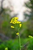 Fält av den gula blomningrapsen i napus för Brassica för vårtid Stäng sig upp av blommande canola, rapsfröväxtlandskap Royaltyfria Bilder