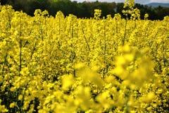 Fält av den gula blomningrapsen på en molnig blå himmel i vår (Brassicanapus), blommande canola Royaltyfria Bilder