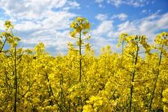 Fält av den gula blomningrapsen på en molnig blå himmel i vår (Brassicanapus), blommande canola Royaltyfri Foto
