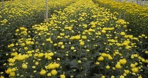 Fält av den gula krysantemumet Royaltyfria Bilder