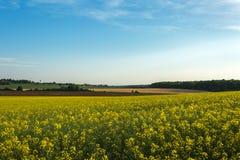 Fält av den gula rapsfröt med blå himmel i bakgrunden Royaltyfri Foto
