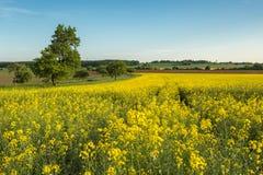 Fält av den gula rapsfröt med blå himmel i bakgrunden Fotografering för Bildbyråer