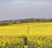 Fält av den gula rapsfröt med lilla byn bakom Arkivfoton