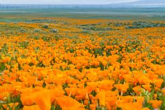 Fält av den Kalifornien Poppy Eschscholzia californicaen under maximal blommande tid Arkivbilder