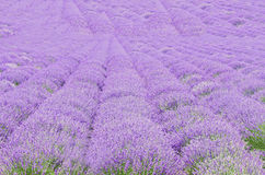 Fält av den malvafärgade purpurfärgade Lavandulaangustifoliaen, lavendel, mest Co Royaltyfri Fotografi