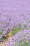 Fält av den malvafärgade purpurfärgade Lavandulaangustifoliaen, lavendel, mest Co Arkivbilder