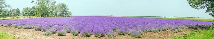 Fält av den malvafärgade purpurfärgade Lavandulaangustifoliaen, lavendel, mest Co Arkivfoton